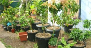 trees in pots
